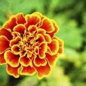6 Moskito Pflanzen Schädlinge fern zu halten