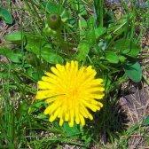 Löwenzahn: essbaren Unkräuter oder Gras begehrt?