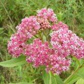 Wachsende milkweed