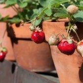 Wachsende Erdbeeren in Containern