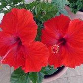 Hibiscus Pflege