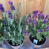 Kommentar innerhalb Lavendel wächst