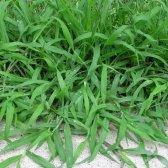 Kommentar töten crabgrass