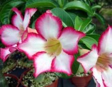 Desert rose Pflege