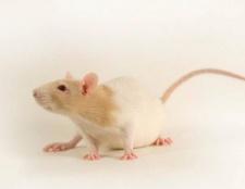 Ich träume davon, Ratten, was bedeuten sie?